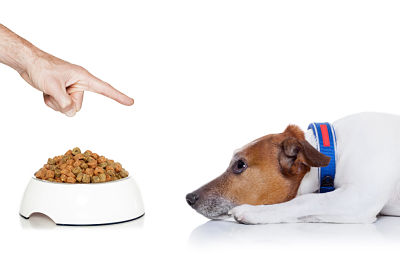 dog waiting for a sign to start eating out of the food bowl looking up to owner isolated on white background